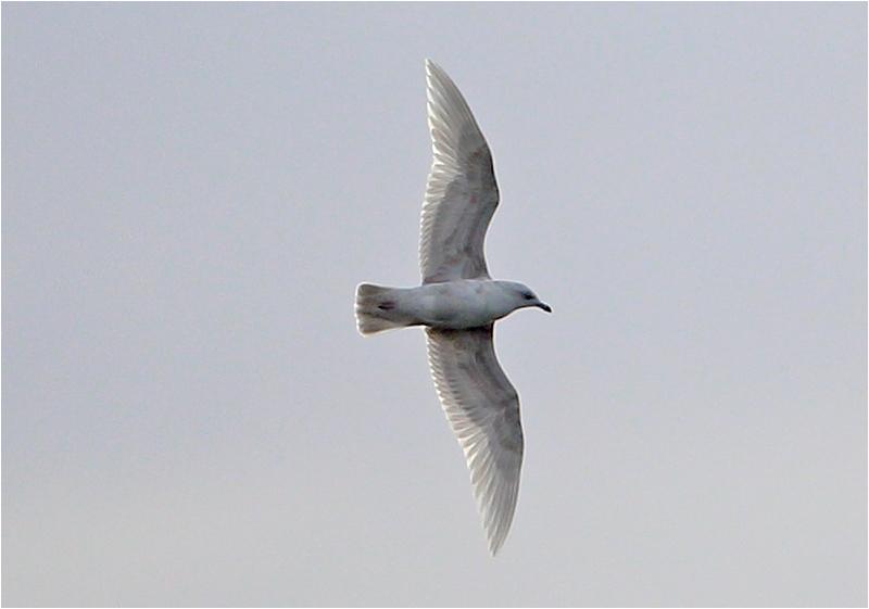 Vitvingad trut (Iceland Gull), Tjolöholm, Halland