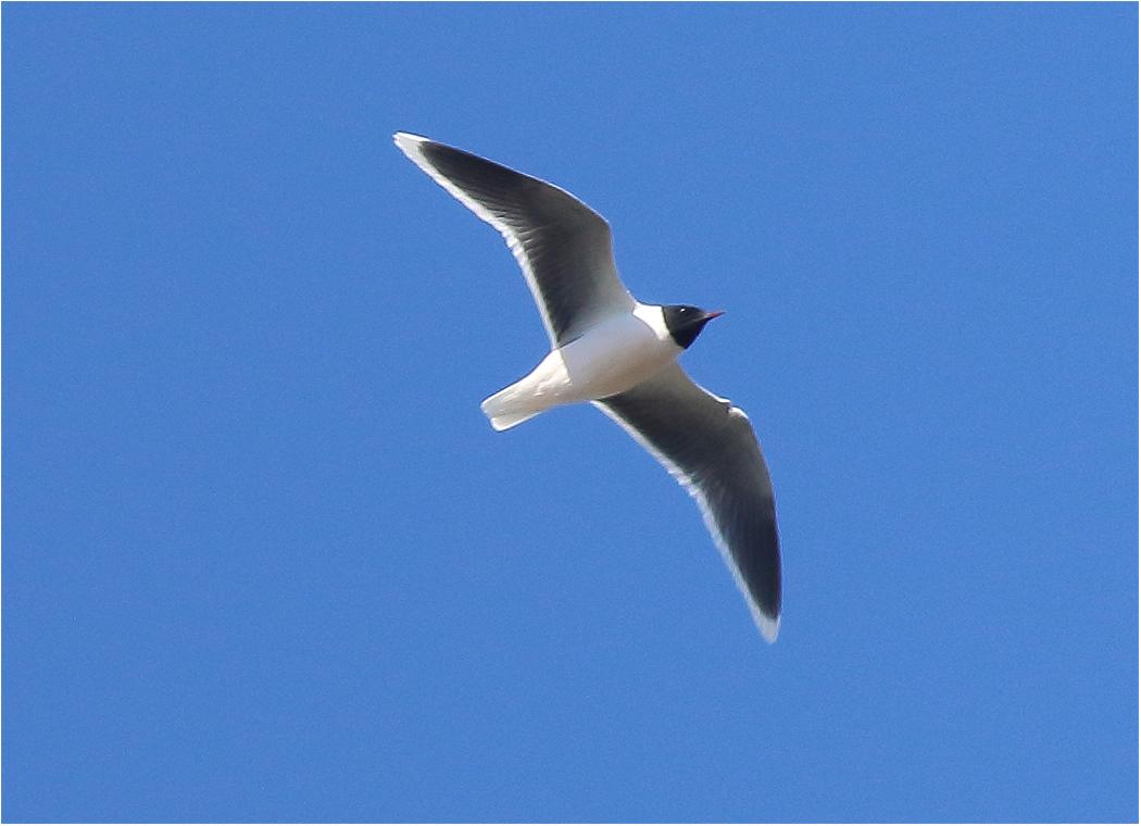 Dvärgmås (Little Gull) vid Västerstadsviken, Öland