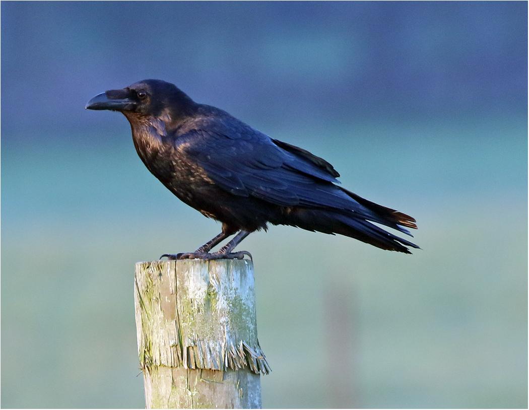 Korp (Raven) mellan Ås kyrka och Ottenby Kungsgård, Öland