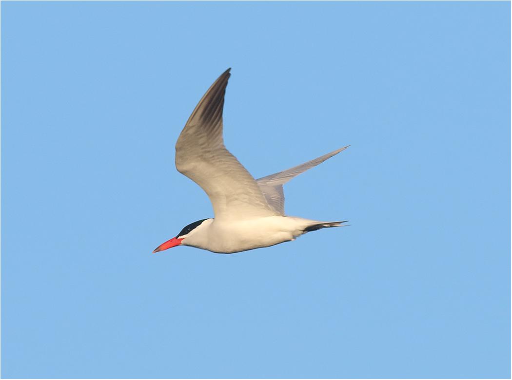 Skräntärna (Caspian Tern) vid Ölands Södra Udde