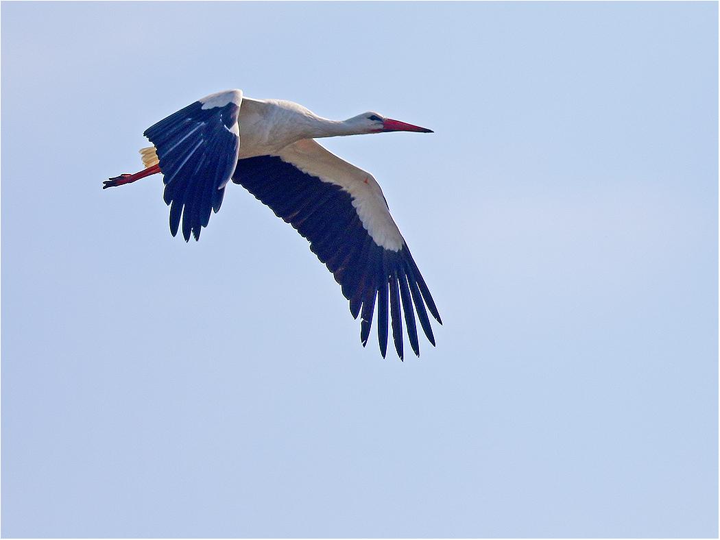 Vit stork (White stork) norr om Össby, Öland