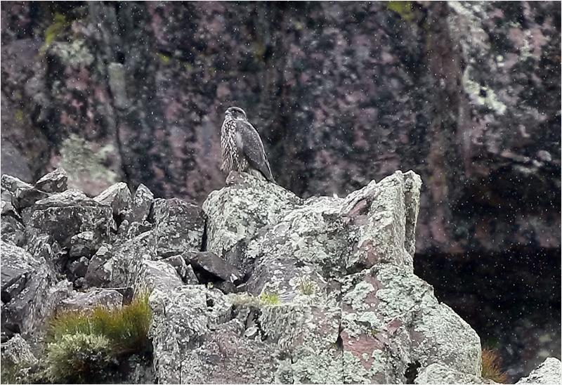 Jaktfalk vid Njupeskär, Dalarna