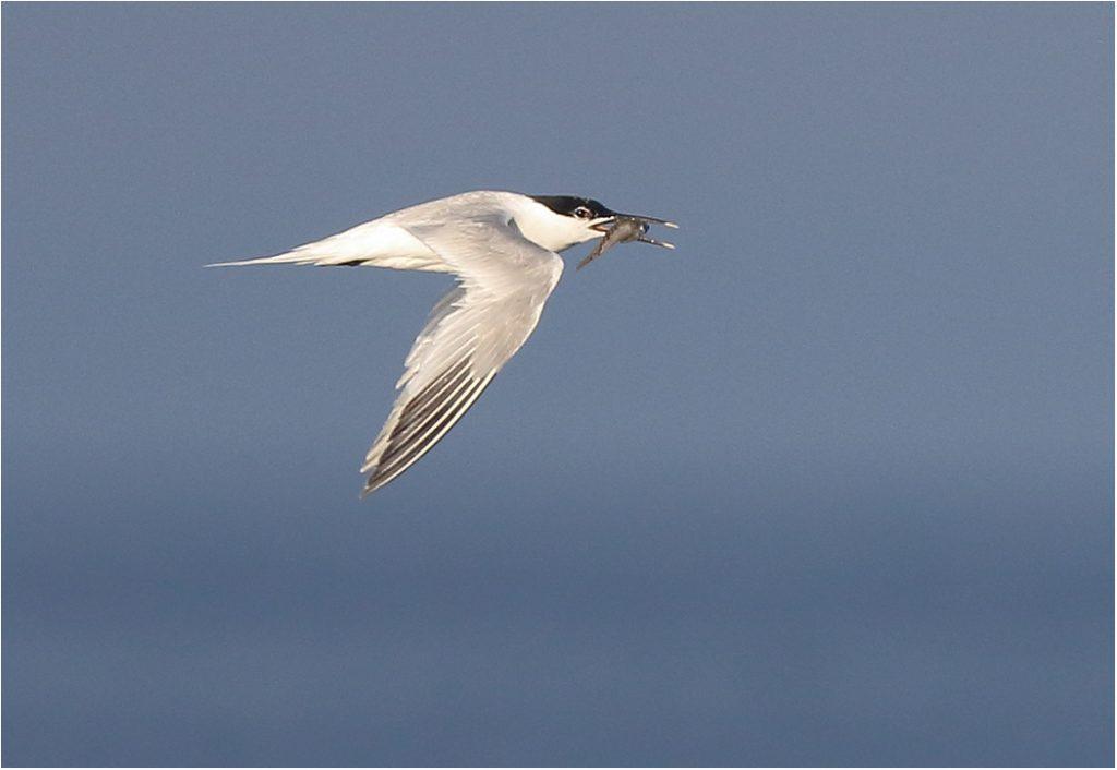Kentsk tärna (Sandwich Tern) vid Seby Läge, Öland