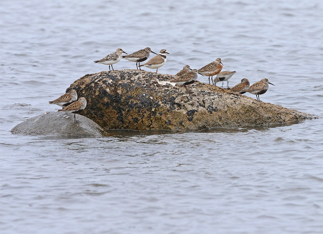Här är vännerna större strandpipare, sandlöpare, kärrsnöppa och spovsnäppa. Det kallas mångfald.