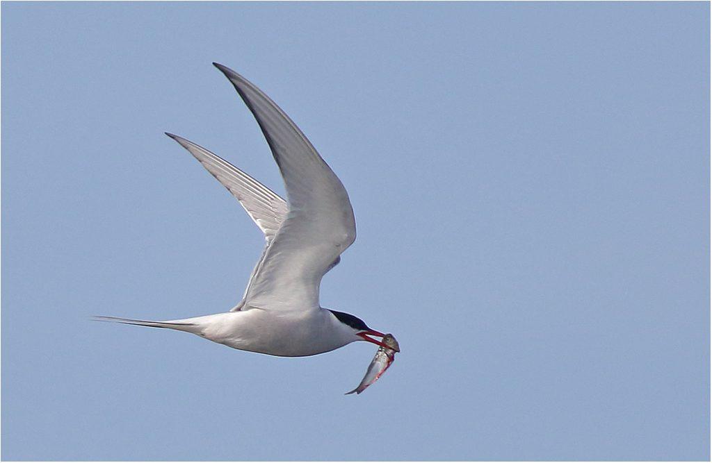 Silvertärna (Arctic Tern) vid Seby Läge, Öland