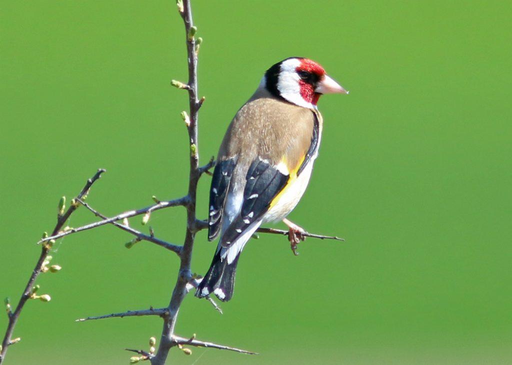 Steglits (European Goldfinch) vid Västerstadsviken, Öland