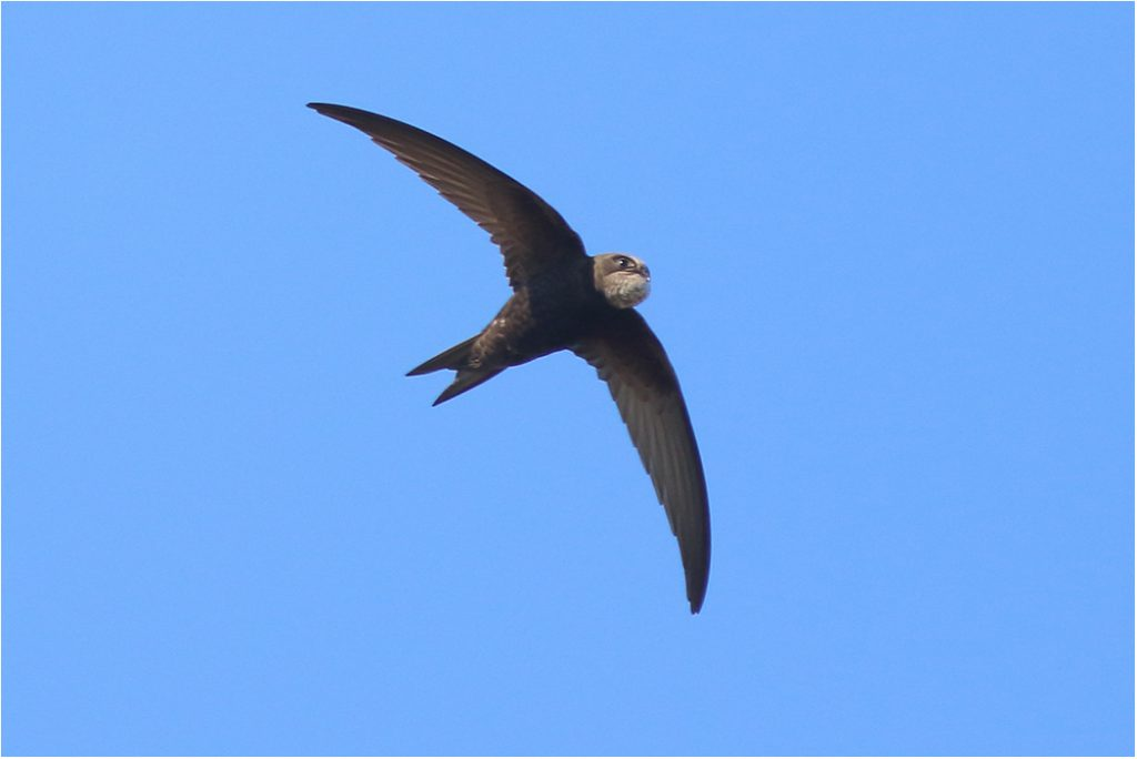 Tornseglare (Common Swift) vid Össby, Öland