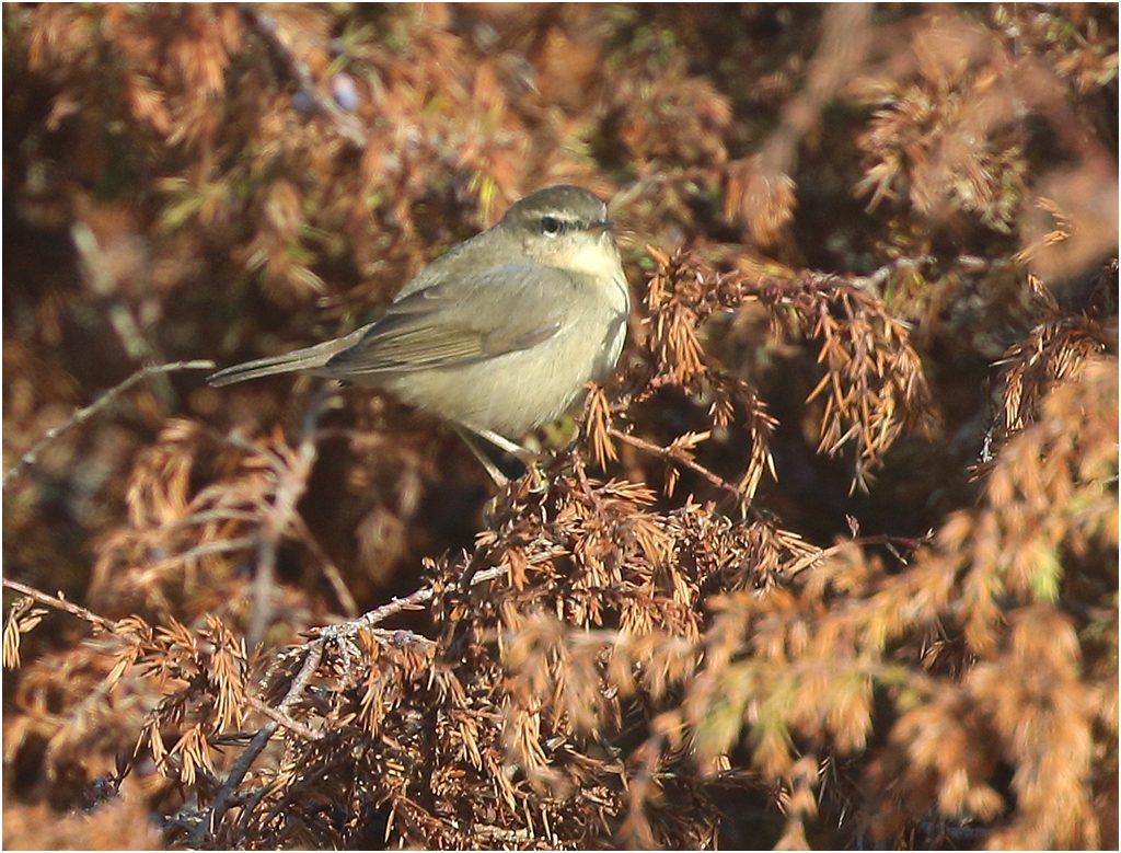 Brunsångare (Dusky Warbler), Sandbyborgs läge, Öland