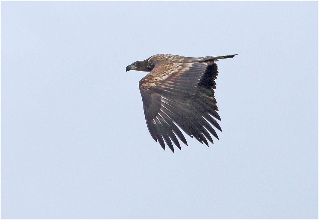 Havsörn (White-tailed Eagle) vid Ölands Södra Udde, Öland