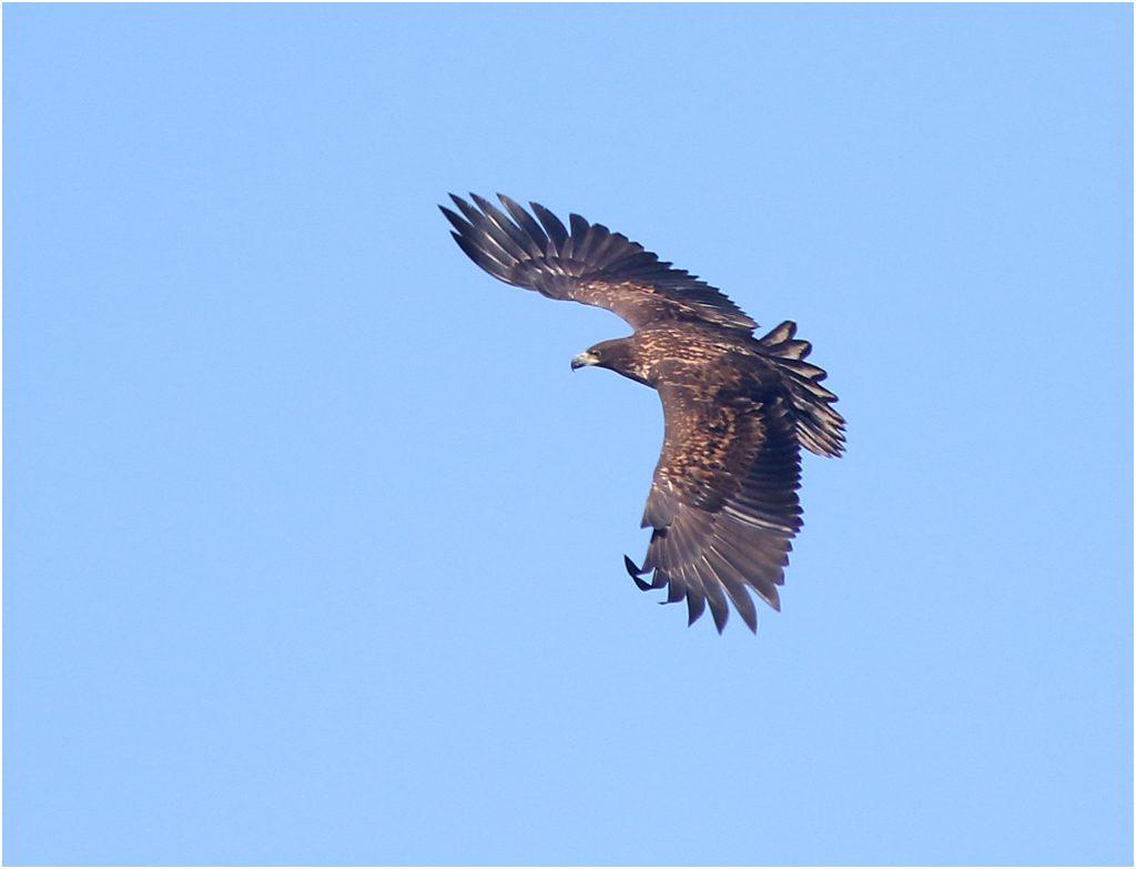 Havsörn (White-tailed Eagle) vid Börringesjön, Skåne