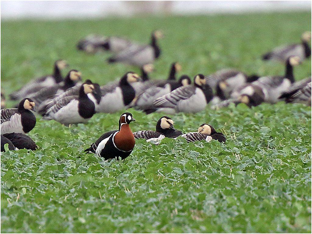 Rödhalsad gås (Red-breasted Goose) vid Össby skjutbanedunge, Öland