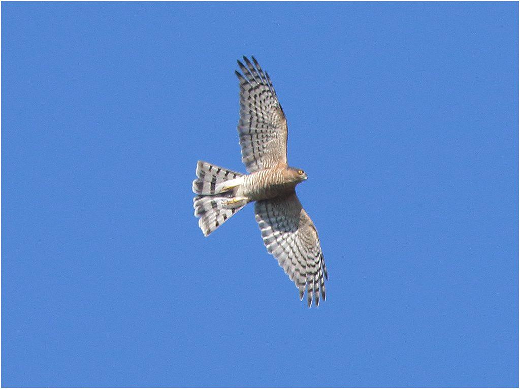 Sparvhök (Sparrowhawk) vid Gelleråsen, norr om Karlskoga, Värmland
