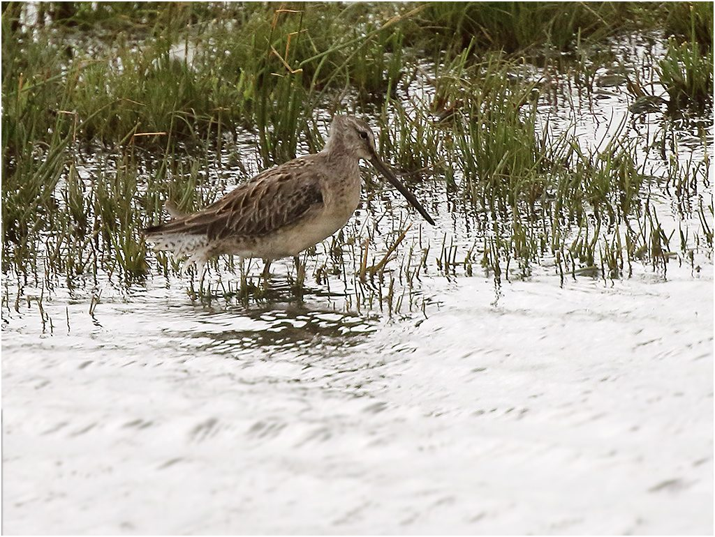 Större beckasinsnäppa (Long-billed dowitcher) vid Larssons våtmark, söder om Halmstad