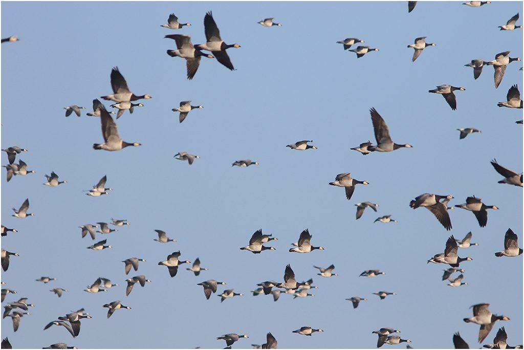 Vitkindad gås (Barnacle Goose) vid Sebybadet, Öland