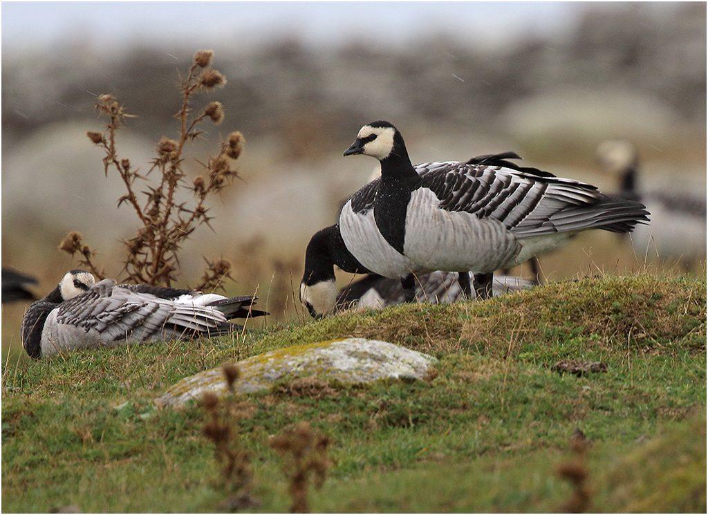 Vitkindad gås (Barnacle Goose) längs Fyrvägen, Ölands Södra Udde