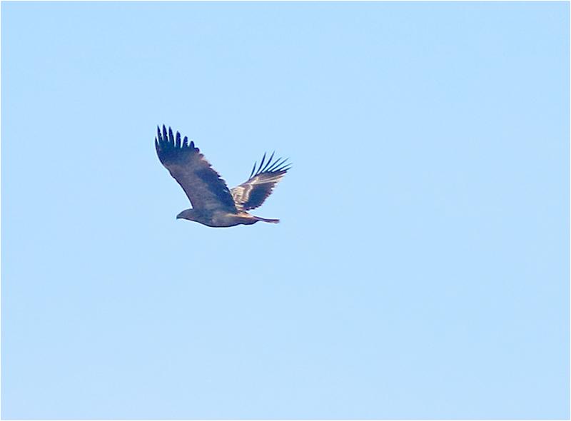 Kejsarörn (Eastern imperial eagle) vid Havgård Herrgård, Skåne