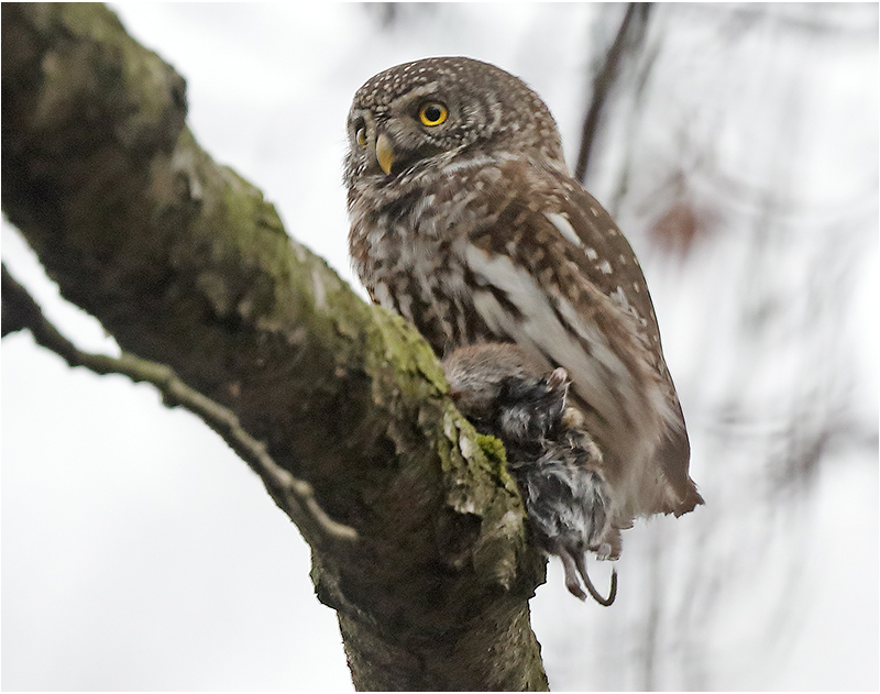 Sparvuggla (Pygmy Owl) nära Jonsereds Järnvägsstation, Partille