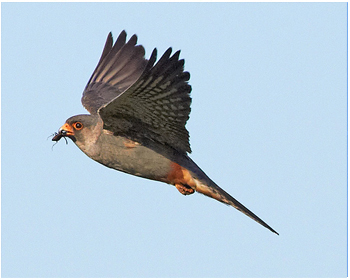Aftonfalk - Falco vespertinus - Red-footed Falcon
