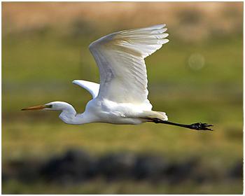 Ägretthäger - Ardea alba - Great white Heron