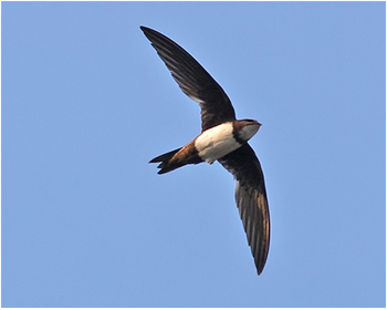 Alpseglare - Apus melba - Alpine Swift