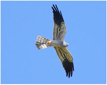 Ängshök - Circus pygargus - Montagu´s Harrier