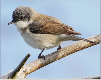 Ärtsångare - Sylvia curruca - Lesser Whitethroat