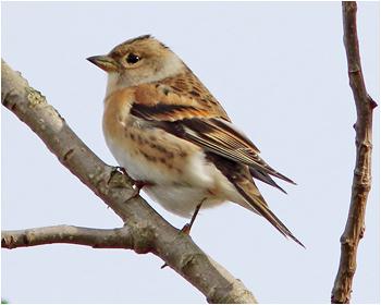 Bergfink - Fringilla montifringilla - Brambling