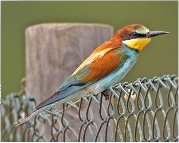 Biätare - Merops apiaster - Bee-Eater