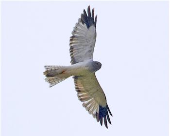 Blå kärrhök - Circus cyaneus - Hen Harrier