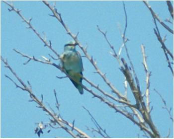 Blåkråka - Coracias garrulus - Roller