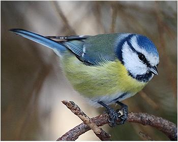 Blåmes - Parus caeruleus - Blue Tit