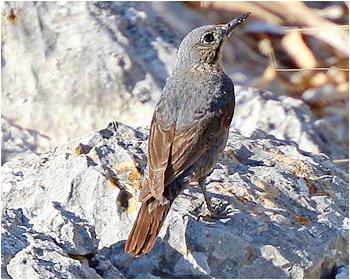 Blåtrast - Monticola solitarius - Blue Rock Thrush