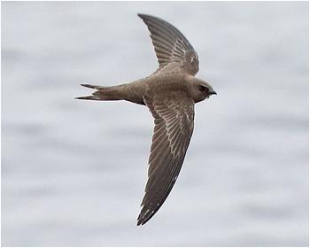 Blek tornseglare - Apus pallidus - Pallid Swift