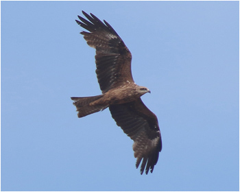 Brun glada (Black Kite)