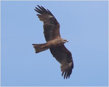 Brun glada - Milvus migrans - Black Kite