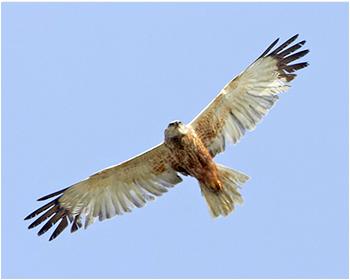 Brun kärrhök - Circus aeruginosus - Marsh Harrier