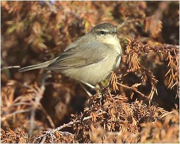 Brunsångare (Dusky Warbler) vid Sandbyborg läge, Öland