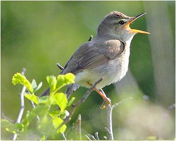 Busksångare - Acrocephalus dumetorum - Blyth´s Reed Warbler