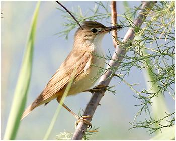 Cettisångare - Cettia cetti - Cetti`s Warbler