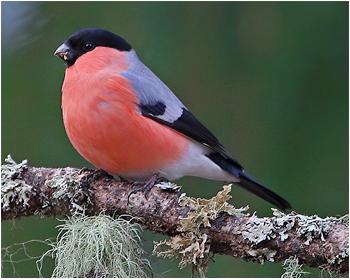 Domherre - Pyrrhula pyrrhula - Bullfinch