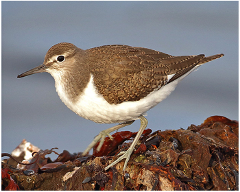 Drillsnäppa - Actitis hypoleucos - Common Sandpiper