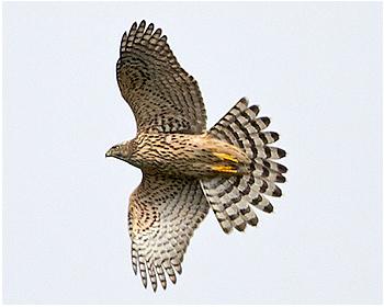 Duvhök - Accipiter gentilis - Goshawk
