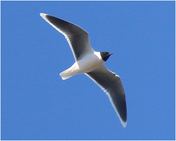 Dvärgmås (Little Gull)