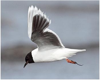 Dvärgmås - Hydrocoloeus minutus - Little Gull