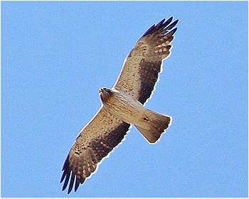 Dvärgörn - Hieraaetus pennatus - Booted Eagle