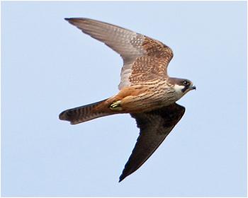 Eleonorafalk - Falco eleonorae - Eleonora's Falcon