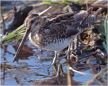 Enkelbeckasin (Common Snipe)