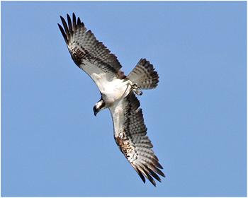Fiskgjuse - Pandion haliaetus - Osprey