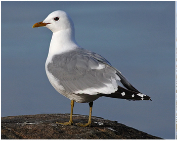 Fiskmås - Larus canus - Common Gull