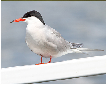 Fisktärna - Sterna hirundo - Common Tern